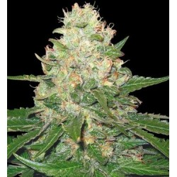 Black Domina 10 Regulares. Sensi Seeds