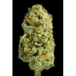 Bubble Gum 11 Reg. Serious Seeds
