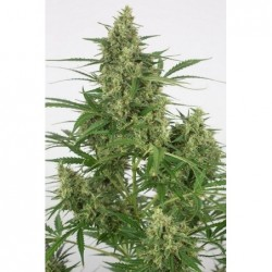 Double Dutch 11 Reg. Serious Seeds