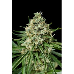 Sweet Cheese F1 Fast Version 3 Fem. Sweet Seeds