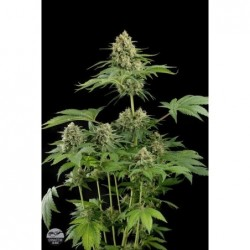 Sweet Cheese F1 Fast Version 5 Fem. Sweet Seeds