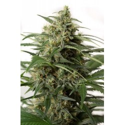 Sweet Cheese F1 Fast Version 25 Fem. Sweet Seeds