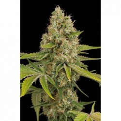 Sweet Skunk F1 Fast Version 3 Fem. Sweet Seeds
