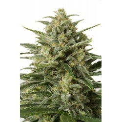 Sweet Skunk F1 Fast Version 5 Fem. Sweet Seeds