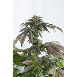 Big Devil XL Auto 100 Fem. Sweet Seeds