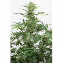 San Fernando Lemon Kush 5 Fem. Sweet Seeds