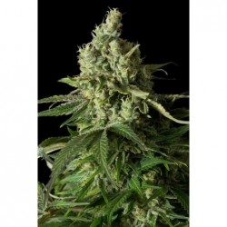 Cream Caramel 5 Fem. Sweet Seeds