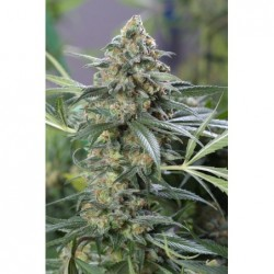 Green Poison 5 Fem. Sweet Seeds