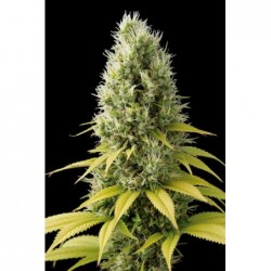 Sweet Tai 5 Fem. Sweet Seeds