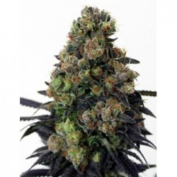 Acid Dough 5 Fem. Ripper Seeds