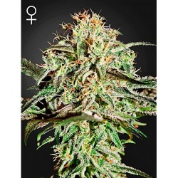 Jack Herer x Super Silver 50 Fem. Spanish Seeds