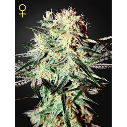 New York Diesel x Ak 50 Fem. Spanish Seeds