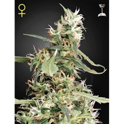 New York Diesel x White Widow 50 Fem. Spanish Seeds
