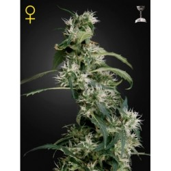 Northern Light x Chronic 50 Fem. Spanish Seeds