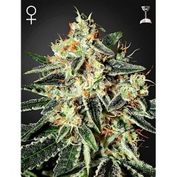 Northern Light x Great White Shark 50 Fem. Spanish Seeds