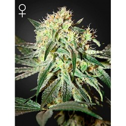 Northern Light x Orange Bud 50 Fem. Spanish Seeds