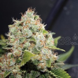 Sour Diesel 3 Fem. Medical...