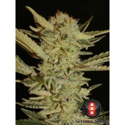 Bubble Gum 11 Reg. Serious...