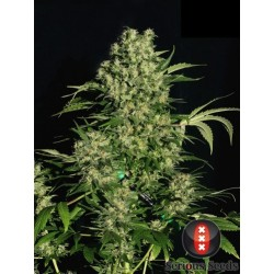Chronic 11 Reg. Serious Seeds