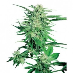 Big Bud 25 Fem. Sensi Seeds
