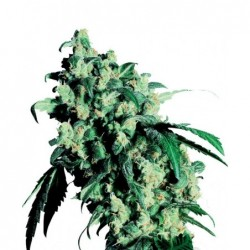 Super Skunk 5 Fem. Sensi Seeds