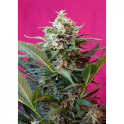 Big Devil XL Auto 100 Fem....
