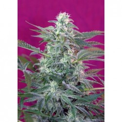 Big Foot 5 Fem. Sweet Seeds