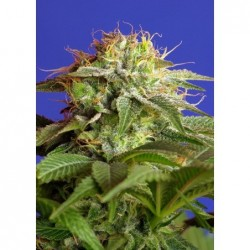 Green Poison 5 Fem. Sweet...