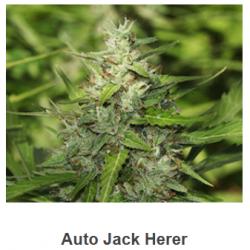 Auto Jack Herer de Spanish...