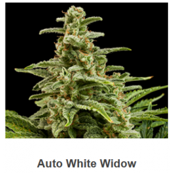 Auto White Widow de Spanish...