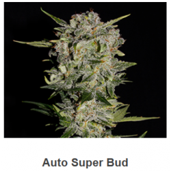 Auto Super Bud de Spanish...