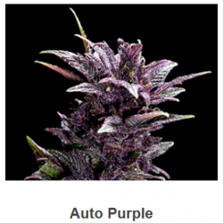 Auto Purple de Spanish...
