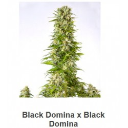 Black Domina x Black Domina...