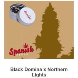 Black Domina x Northern...
