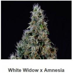 White Widow x Amnesia de...
