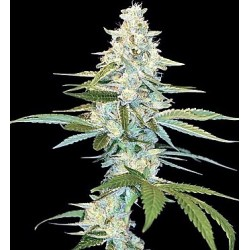 Cannalope Kush 6 Fem. DNA...