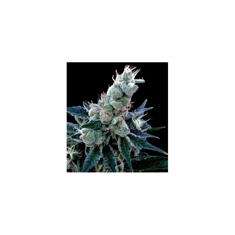 Humidificador Profesional de Pared. SuperGrower