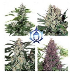 Assorted 10 Auto. Buddha Seeds