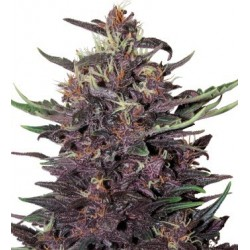 Buddha Seeds Purple Kush 10...