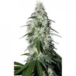 Cannalope Kush 3 Fem. DNA Genetics