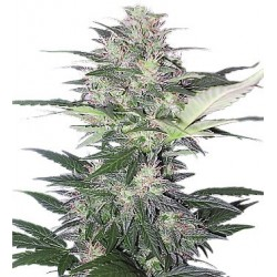 Buddha Seeds Red Dwarf 10 Auto